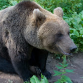Kohtumine karu Karoliinaga